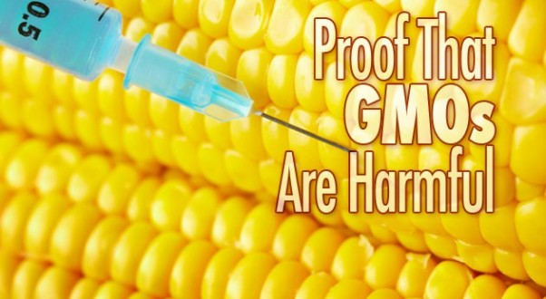 How do GMOs affect insects?