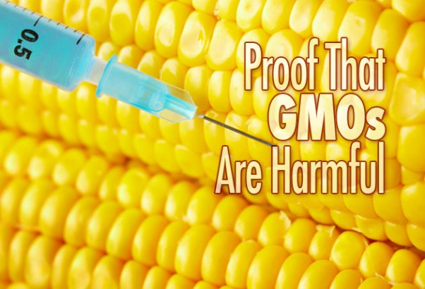 the harmful effects of gmos 4 are genetically modified plant foods safe to eat 41 foodstuffs made of genetically modified crops that are currently available (mainly maize, soybean, and oilseed rape) have been judged safe to eat, and the methods used to.