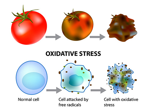 oxidative stress and cellular aging