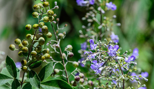 vitex herb natural