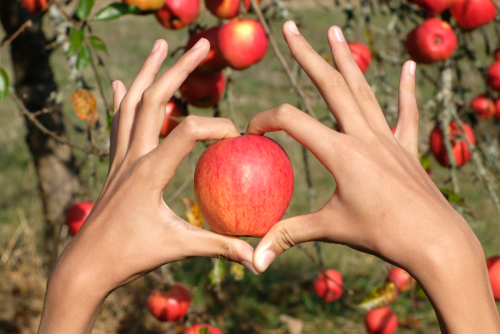 Heart Hands hold one organic red freshly picked apple